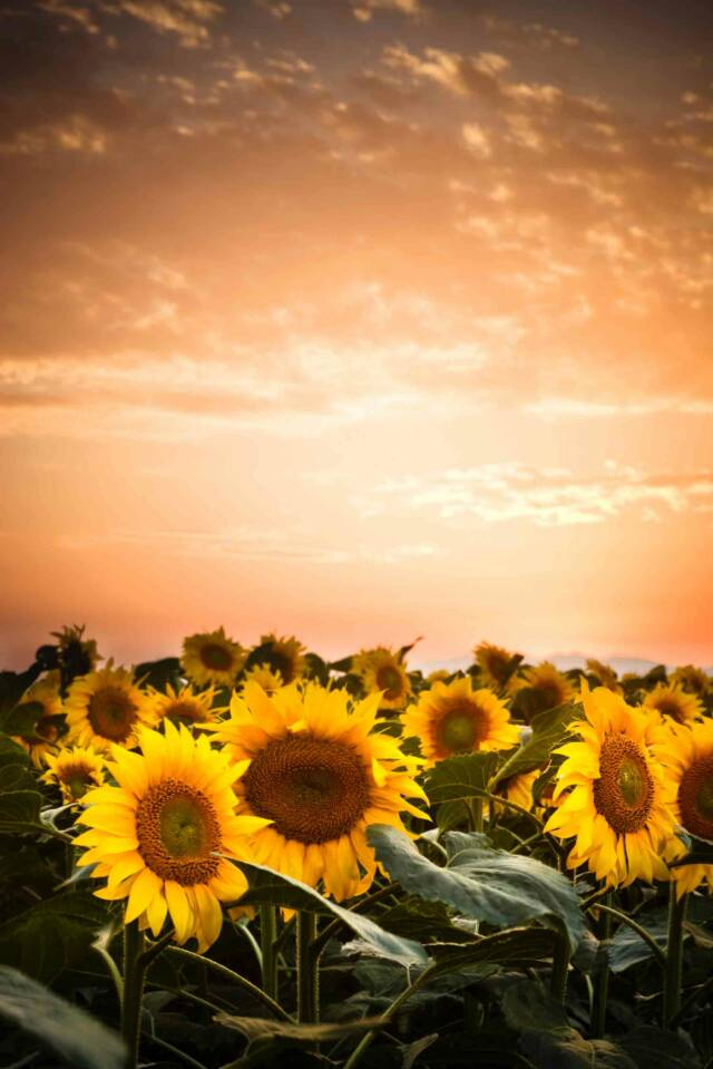 Sunflower field- Tuscan Weddings and Events